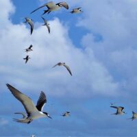 Sooty tern dispersal